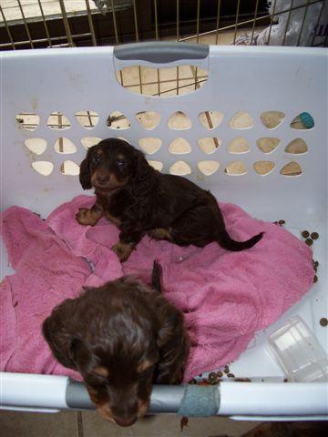 Longhaired Pups Bend Weenies